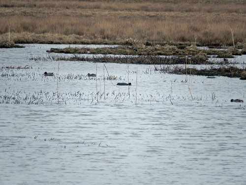 Five teal, a mallard, a lapwing, and a coot at Marwick