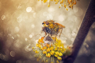 Golden dung fly with prey