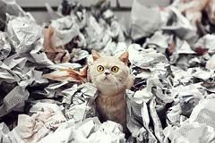 Buenas noticias (ngela Burn) Tags: news ji cat paper newspaper eyes furry tabby exotic gato shorthair british papel majo peridico i gatico toffe toffelillo tofferoni sutoffsima eltofferino