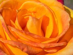Orange rose (melastmohican) Tags: california orange plant flower color love nature floral beautiful beauty field rose garden season botanical outdoors us bush flora colorful day unitedstates natural blossom gardening outdoor sanjose sunny nobody fresh petal bloom shrub rosebush