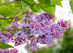 lilas (valerierodriguez1) Tags: lilas lilac flower nature couleur printemps summer spring