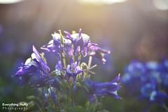 DSC_0064 (1) (Fluffphoto) Tags: flowers sunset sunlight golden lowes