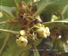 FM-Diospyros.melanoxylon-FlrLvs (florimagix) Tags: tree forest tropical ebony coromandel diospyros melanoxylon