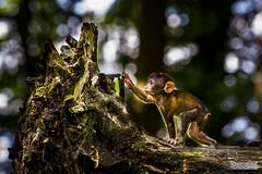 Berber Affe (Paavo Jean) Tags: wood animal canon germany deutschland zoo monkey berber wald 70200 ef tier affe rheine berberaffe naturzoo 5dmkiii 5dmk3
