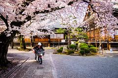 sakura '16 - cherry blossoms #17 (Honryu-ji temple, Kyoto) (Marser) Tags: flower bike japan cherry temple kyoto raw fuji   sakura lightroom nishijin  xt10