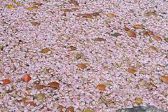 20160410-DSC_8483.jpg (d3_plus) Tags: sky plant flower history nature japan trekking walking temple nikon scenery shrine bokeh hiking kamakura fine daily telephoto bloom  tele nikkor    kanagawa   shintoshrine   buddhisttemple dailyphoto sanctuary   70210 thesedays kitakamakura    fineday  70210mm   holyplace historicmonuments 70210mmf4  zoomlense ancientcity         70210mmf4af 702104 d700 nikond700  aiafnikkor70210mmf4s 70210mmf4s