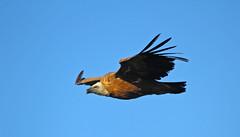 IMG_1956a (berserker170) Tags: buitre vulture monfragüe 7d 150500 eos extremadura montaña mountain aire libre animal ave bird flickrexploreme