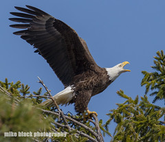 Angry Bird! Bald Eagle Canon 5Ds (Mike Black photography) Tags: new sky white black bird mike nature canon lens photography is big eagle body year birding bald nj raptor shore jersey l usm f56 eaglet talons banded 800mm 5ds 1dx