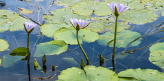 In A Row (gecko47) Tags: flowers plant pond waterlily brisbane waterlilies mauve inline blooms brisbanebotanicgardens toowong aquaticplant mtcoottha