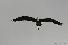 _DSC0497 (chris30300) Tags: france heron de pont parc oiseau camargue gau saintesmariesdelamer flamant provencealpesctedazur ornithologique