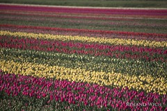 Holland (Rolandito.) Tags: holland netherlands field tulips nederland tulip fields paysbas niederlande tulpen