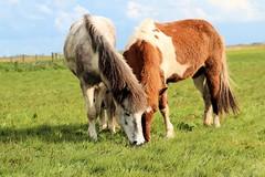 freyja met faxadis1 (fraroan) Tags: paarden ponys tolt rijden paardrijden ijslander ijslandse ijslanders fraroan telgang westbemster