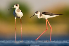 Black-winged Stilt (Himantopus himantopus) (Kinan Echtay ... So busy) Tags: wild bird nature birds animal asian nikon dubai desert outdoor wildlife uae nikkor 500mm stilt himantopushimantopus blackwingedstilt blackwinged himantopus kinan tc17 d4s kinanechtay echtay