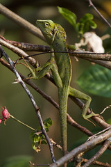 Maned Forest Lizard (Byron Taylor) Tags: bali nature birds canon indonesia asia southeastasia reptile wildlife lizard munia ubud whiterumpedmunia forestlizard canon7d manedforestlizard