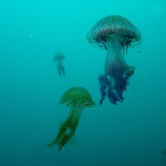 The power of three (Wim Bollein) Tags: blue sea roses nature water animal jellyfish mediterranean underwater sony scuba diving diver ikelite rx100mii