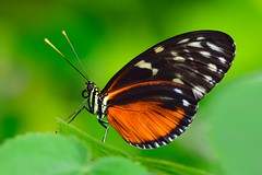 Butterfly 2016-30: Unedited (michaelramsdell1967) Tags: light orange detail macro green love nature beautiful beauty closeup butterfly bug garden insect photography hope photo leaf nikon natural bokeh butterflies vivid insects bugs photograph zen upclose unedited
