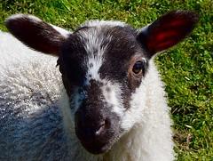 Lamb (rustyruth1959) Tags: green wool nature face grass animal eyes nikon sheep outdoor yorkshire lamb nikond3200