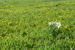 (:Linda:) Tags: germany whiteflower village meadow thuringia dandelion narcissus narzisse