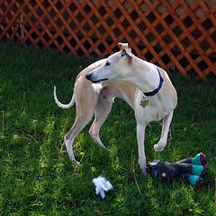 Stuffing (DiamondBonz) Tags: dog pet stuffing toy hound whippet spanky dogchal