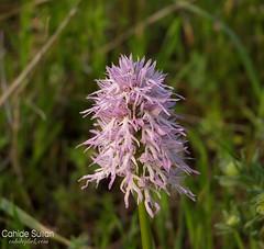 saakl orkide (Cahide ve Jibek) Tags: orchid flower orchis italica orkide saakl