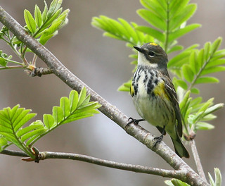 yellow rumped warbler w
