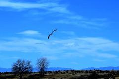 Sky Patrol (Patricia Henschen) Tags: ranch mountains bird clouds colorado coloradosprings wetland harrier northernharrier chicobasinranch
