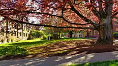 UO Spring 7 (Wolfram Burner) Tags: shadow tree oregon campus university branch quad uo burner beech uofo universityoforegon uoregon fagus wolfram