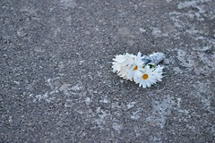 A lost gift (Ylenia Comi) Tags: street flowers white daisies lost sadness spring nikon gift expressive ontheground conceptual cinematic onthestreet malinconic