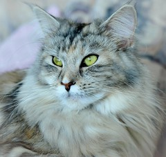 Karin's Photo #1 (eagle1effi) Tags: animal female cat 50mm 1 chat pussy grace 50mmf20 mainecoon attractive felini pussycat housecat muschi domesticcat iso1600 maincoon felis tbingen miezi mieze mulle felissilvestris felissilvestriscatus hauskatze miezekatze felinae eagle1effi referenceshot d5100 nikonafsnikkor50mmf18g nikond5100dslr animalwithattitude highendphoto d5100best miezigracesilvana adobephotoshopelements90android