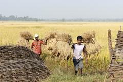 Bastar - Chhattisgarh - India (wietsej) Tags: india landscape rice sony farming harvest 2470 zeis chhattisgarh a900 bastar sal2470z