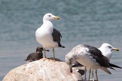 Caspian Gull at Salalah S24A6755 (grebberg) Tags: bird march gull oman larus rotana 2016 salalah caspiangull laruscachinnans dhofar rotanaresort