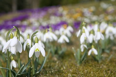 2016-03-28 Vrblommor 015 (HAKANU) Tags: flowers white field garden countryside early spring colours blossom sweden lawn crocus smland snowdrops summerhouse springtime