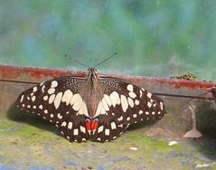 Papilio demoleus 1 (barryaceae) Tags: house butterfly harbour australia nsw coffs the ausbutterfly