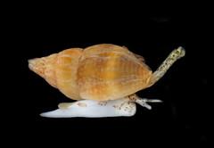 Variegate Amphissa (Amphissa versicolor) (Ron Wolf) Tags: california macro nature marine underwater pacific wildlife snail intertidal tidepool gastropoda gastropod mollusk pillarpoint mpe65 mpe65mm neogastropoda columbellidae amphissaversicolor variegateamphissa