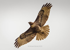 Hawk Overhead (mikesa10) Tags: ca canada water birds hawk britishcolumbia delta ladner reifelbirdsanctuary deltabc ladnerbc canon6d