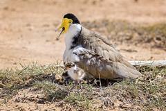 nesting masked lapwing and chick in 40C (Fat Burns  (gone bush)) Tags: bird fauna australia australianbird barcaldine vanellusmiles maskedlapwing australianfauna lagooncreek nikond750 sigma150600mmf563dgoshsmsports sigmatc140114xteleconverternik