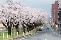 Along the road (Wunkai) Tags: japan river  cherryblossom sakura riverbank dike embankment sakuragawa   bloomed  ibarakiken  mitoshi
