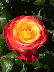 Il sole in una rosa (chiarafratocchi) Tags: flowers red flores rome roma primavera rose yellow rosa giallo fiori rosso petali sping roseto