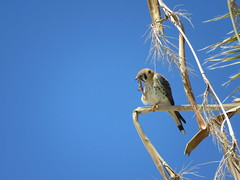 American Kestrel Falcon Grooming-3 (Chic Bee) Tags: arizona hawk bluesky grooming talons americansouthwest burstmode myfrontyard southwesternusa washingtonpalm sooc 908am centraltucson canonsx60hs