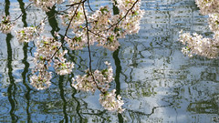 updating... (All Shine) Tags: reflection water spring poetry mood blossom flowering