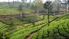 Vagamon, Kerala # 2 (Abraham Jacob N) Tags: travel india nature canon kerala teagarden teaplantation kottayam canonpowershotsx130