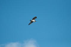 Osprey (ironekilz) Tags: chatfieldstatepark