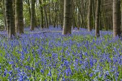 A deep blue sea (Andrew_Leggett) Tags: wood blue flower bluebells forest woodland landscape carpet may serene bluebell hyacinthoidesnonscripta andrewleggett