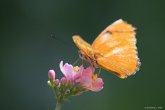 Butterfly 2016-10 (michaelramsdell1967) Tags: pink flowers orange flower detail macro green eye love nature beautiful beauty closeup butterfly insect photography eyes focus natural cincinnati butterflies insects photograph zen upclose nky boheh bokehworld