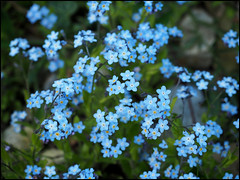 Day 112 (kostolany244) Tags: flowers blue germany garden outside europe moments april day112 geo:country=germany kostolany244 olympusomdem5markii 2142016 366the2016edition 3662016 moments2016