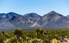 Saddle Ridge (Meteorseeker) Tags: flowers mountains flower nature canon outside desert outdoor wildlife nevada canyon catcus deserttortise tortise mountainpeak canon60d canonfanphotography