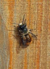 Red Mason Bee (Osmia bicornis) (RiverCrouchWalker) Tags: wood garden insect spring may bee essex woodgrain invertebrate 2016 southwoodhamferrers redmasonbee insecthotel osmiabicornis