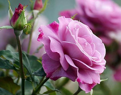 A roses in a different colors (PhotographyPLUS) Tags: pictures graphics photos illustrations images stockphotos articles footage stockimage freephoto stockphotograph