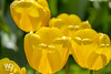 Lovely yellow tulips (WDnet) Tags: park flowers light summer sun sunlight white plant flower color green nature floral beautiful beauty up grass yellow closeup garden season outdoors spring pattern close tulips bright background may sunny fresh tulip greeting d3100