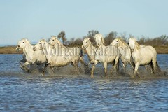 40081012 (wolfgangkaehler) Tags: horse white france water french europe european running wetlands marsh splash herd marshland wetland camargue southernfrance splashing marshlands galloping 2016 whitehorses camarguehorses